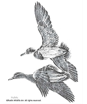 Pencil Sketch - Flying Mallards