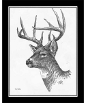 Pencil Sketch - Whitetail Deer